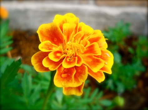Marigold for garnish